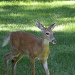 Deer at Candlewycke