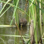 A water vole at Rainham RSPB