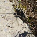 Iguana on the way up