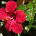 hibiscus in inner courtyard