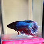 Fighting fish for sale