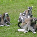 Lemurs waiting to be fed ...