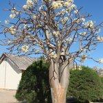 baobab en fleurs (juin)