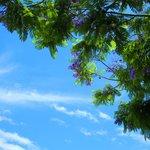 薄紫の花と、初夏の空のさわやかな青がよく似合う