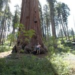 one of many Giant Sequoias on this trail