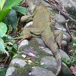 Our iguana friend