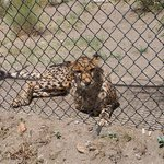 Zulu(?) Cheetah relaxing inches away