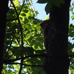 A red squirrel in a nearby tree