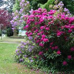 rhododendrons du parc