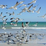 Barra beach, seagulls fishing