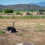Ostriches with the Oudtshoorn landscape
