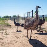 They also have Emus