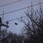 飛び立つオジロワシ(だったっけかナ)