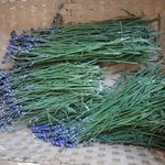 lavender ready for drying