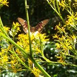 Verslaafde vlinder