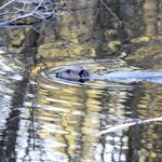 Fearless beaver seen while we were in the back-country