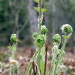 Fiddlehead ferns just coming up. Spring is here!