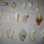 Shells from Venice Beach
