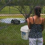 Feeding of the alligators