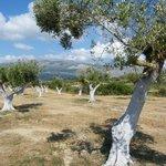 Olive trees!!