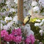 Woodpecker outside the kitchen window
