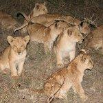 Lion cubs :)