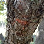 Mastic from tree