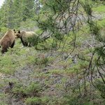 Grizzly bear and cubs on trail 7 in Jasper. We scared her off no problem