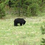 Adult bear on Maligne road in Jasper National Park.