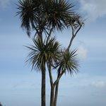 A Corish Palm