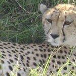 Fastest super cat,Cheetah, in samburu reserve.