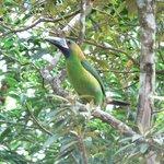 emerald toucanette