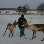 Hungry reindeer