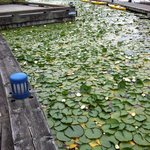 Lily Pads In Marina Behind Hotel