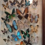 many perfect butterflies killed young and dried for you to buy in this frame. I asked price: $10