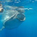 Kim DeBruycker with a whale shark, June 21, 2013