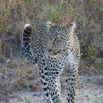 femal leopard