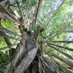 Einer der alten Banyan-trees