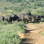 buffalo on our game drive