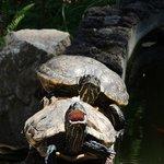 Müde Schildkröten im Teich der Villa Schuler