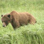 Roxanne, one of the bears feeding