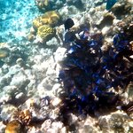 Underwater picture.. school of blue tang