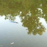 Small 'gator in the bayou
