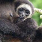 bébé singe à la tété