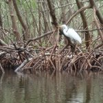 Egret in a mangrove tunnel