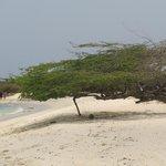 Arashi Beach divi tree
