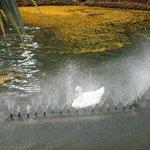 Close up of Swan showering