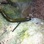 One very cool millipede