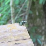 Sharing a viewing platform with a poison dart frog.