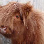 New addition to Highland Cattle Herd
